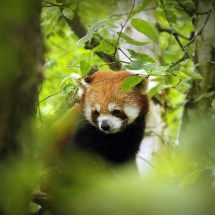 Red Panda @ Zurich Zoo