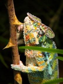 Panther Chameleon @ Zurich Zoo