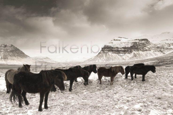 Europa, Island, Halbinsel, Snaefellsnes, Islandpferde im Schnee