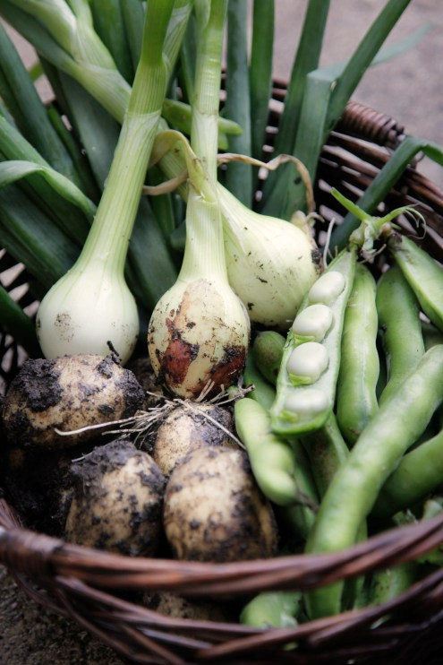 kartofler-spidskål-valske-bønner-løg-egen-avl