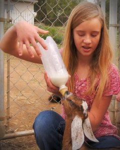 Abby, bottle-feeding a baby goat