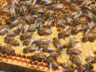 http://upload.wikimedia.org/wikipedia/commons/4/4b/Western_Honey_Bees_and_Honeycomb_Closeup.JPG