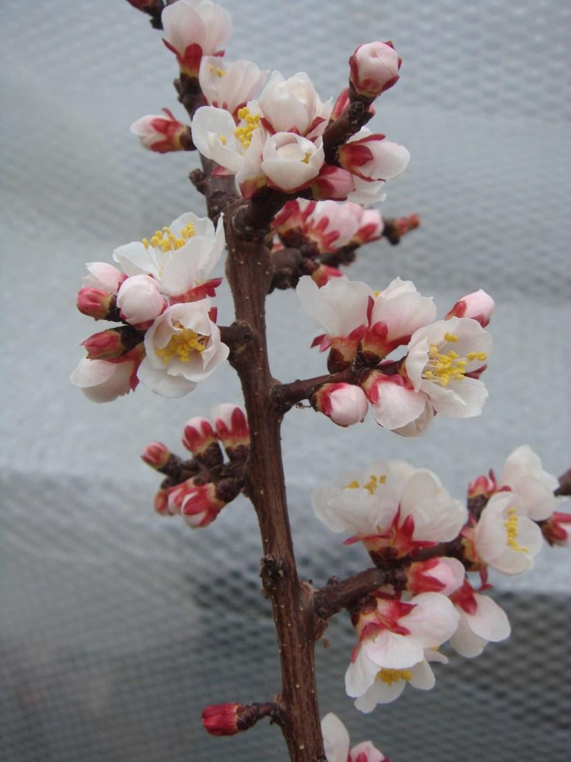 Apricot_flowers_best