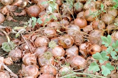 Lök / Onions