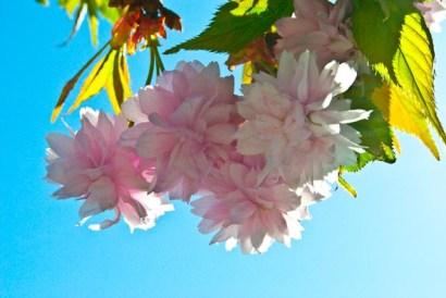 Japanese cherry. Japansk körsbärsträd.