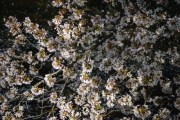 Sakura blossoms in april in Japan.