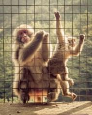 Macaque in Arayashima in Kyoto, Japan.