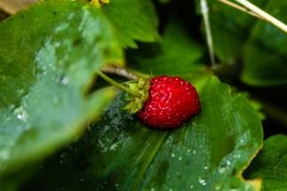 Smultron som gömmer sig bland allt det gröna. / Wild strawberries hiding amongst the green leaves.