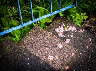 I körsbärsblommens tid. / When the cherry blossoms fall.