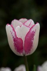 tulip10Apr2015_0075