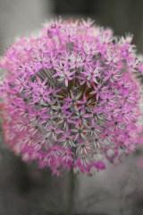 13_pink_allium
