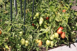 This was two years ago - an amazing amount of yummy tomatoes! July 2012.