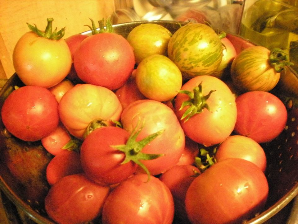 Fresh tomatoes, still warm from the sun. Picked 8/2513.
