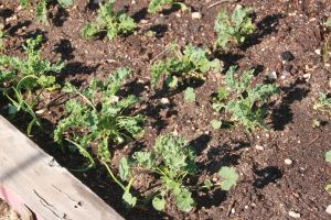 The thriving kale bed.