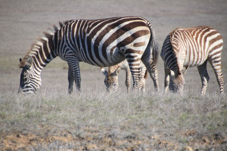 These zebras are on the Hearst Castle property, and my bet is they are a part of the original menagerie Hearst had kept.