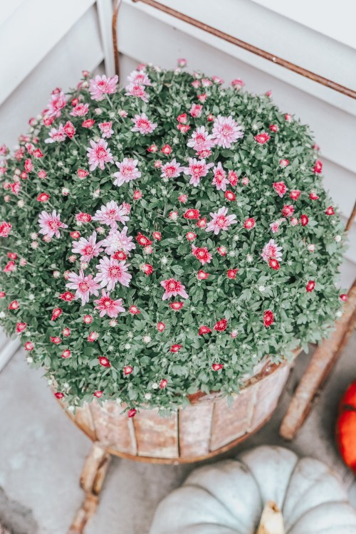 Ever wonder why your mums die so early each season? Read this post to learn my top pro tips on how to buy and take care of fall mums!