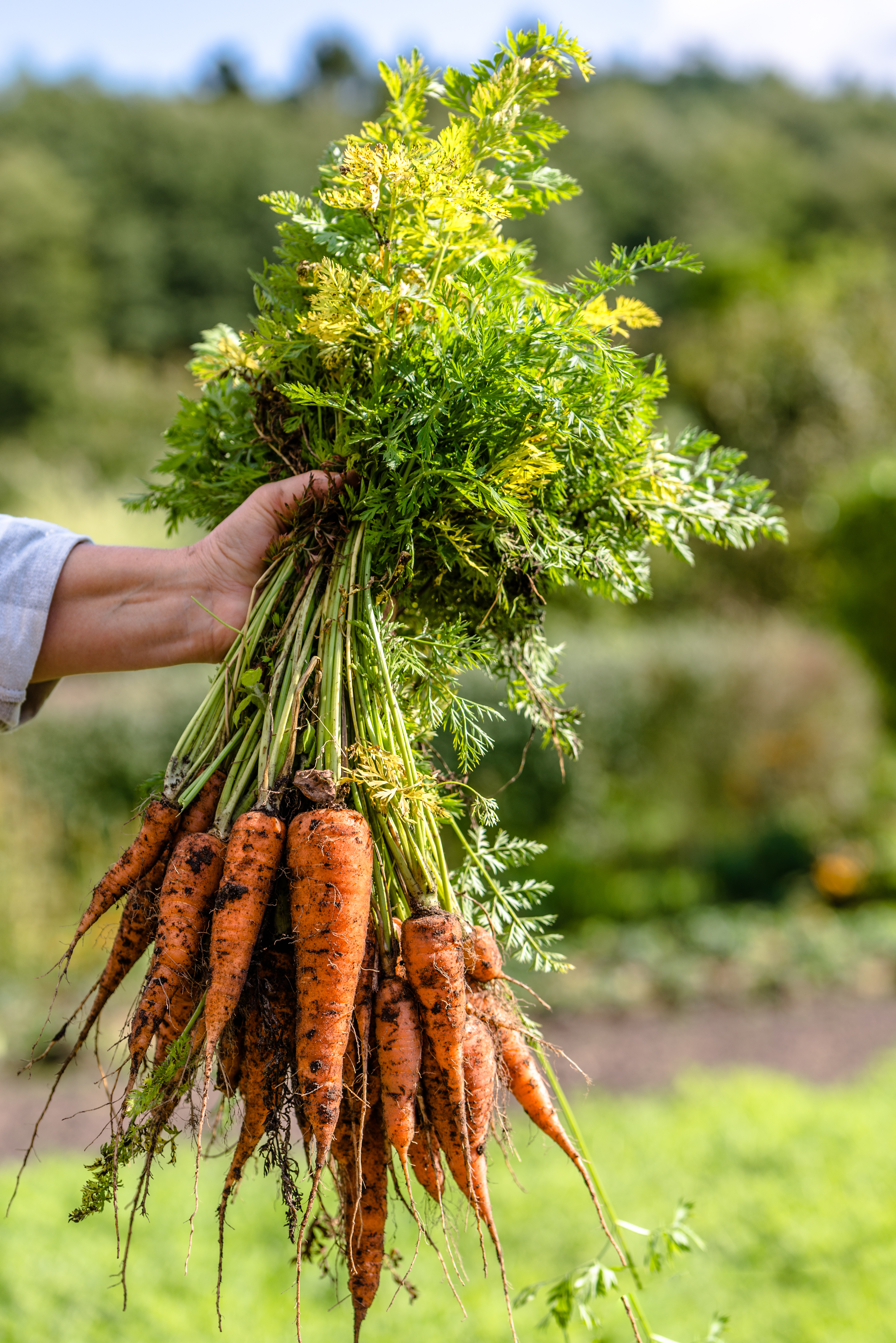 carrots from Low Maintenance Vegetable Garden