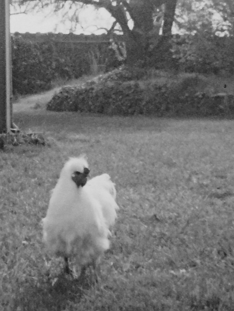Brewster, our silkie rooster