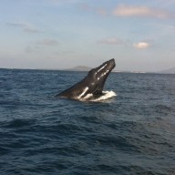 Humpback whale in Twofold Bay