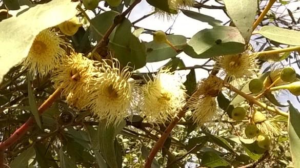 sunny gum-blossom