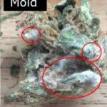 Pesticides in CBD from Mold
