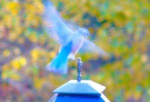 5A. Bluebird.JPG