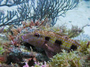 Spotted Goatfish, resting.