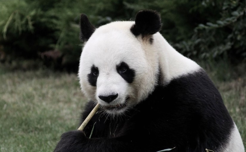 Close up of a panda bear's face, chewing on a bamboo shoot