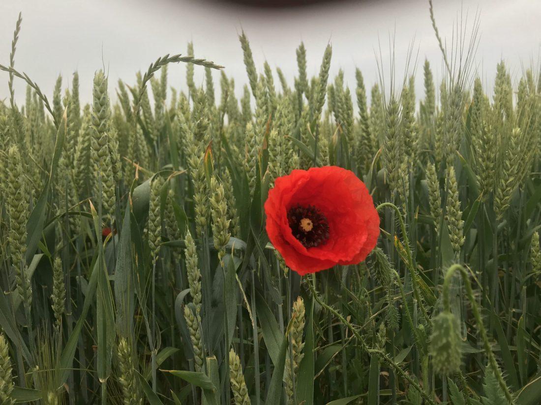 One Red Poppy