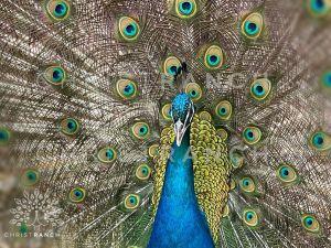 Top 3 best peacock breeds