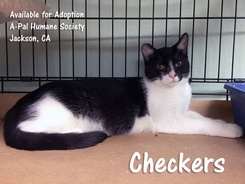 Short-haired, black and white, spayed female, 6 months old
