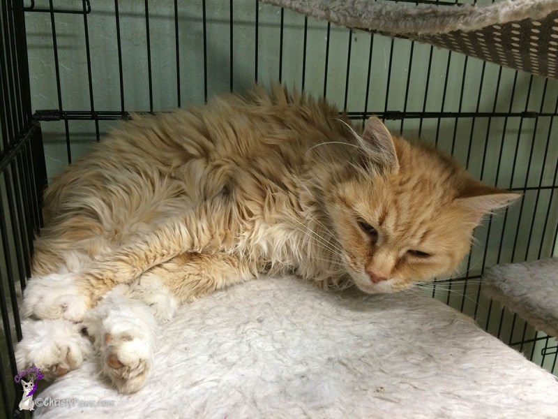 Things Will Get Better -- Available for Adoption in Jackson, CA -- orange and white  … <a href=