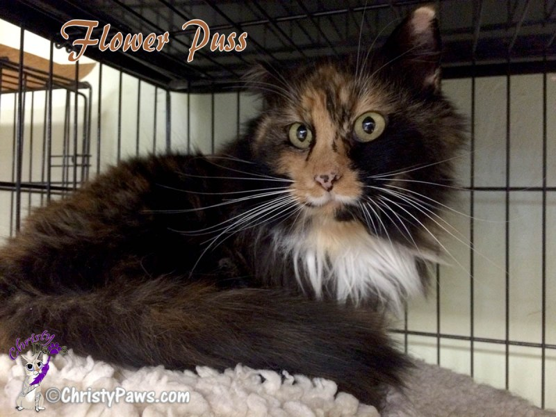Adopt Flower Puss -- A-Pal Humane Society