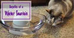 Kitties don't have a strong drive to drink water which can lead to serious health problems. A pet water fountain can encourage them to drink more water.