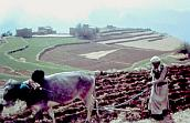 Plowing with oxen in yemen