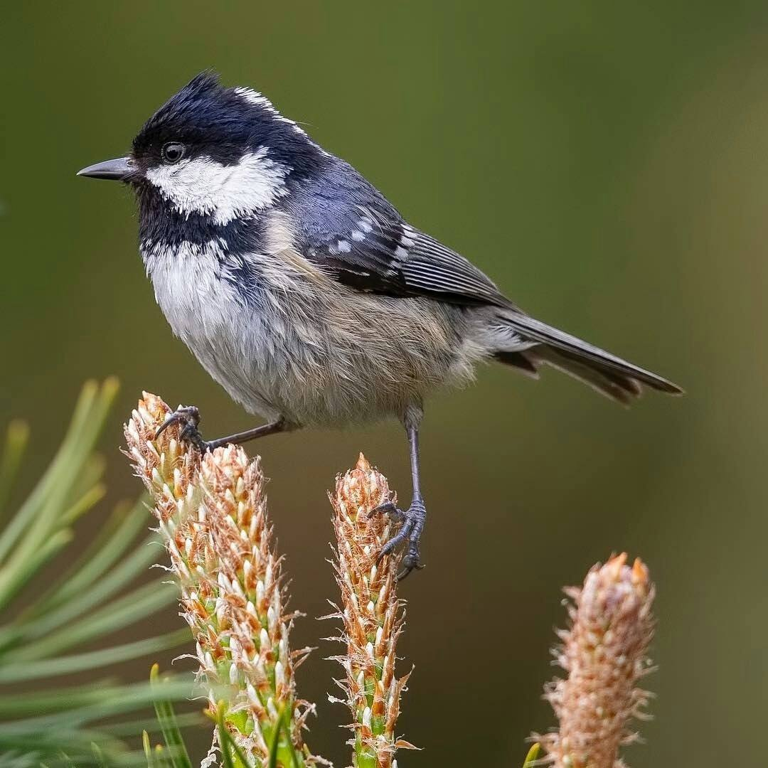 Coal Tit on conifer by Caperelux
