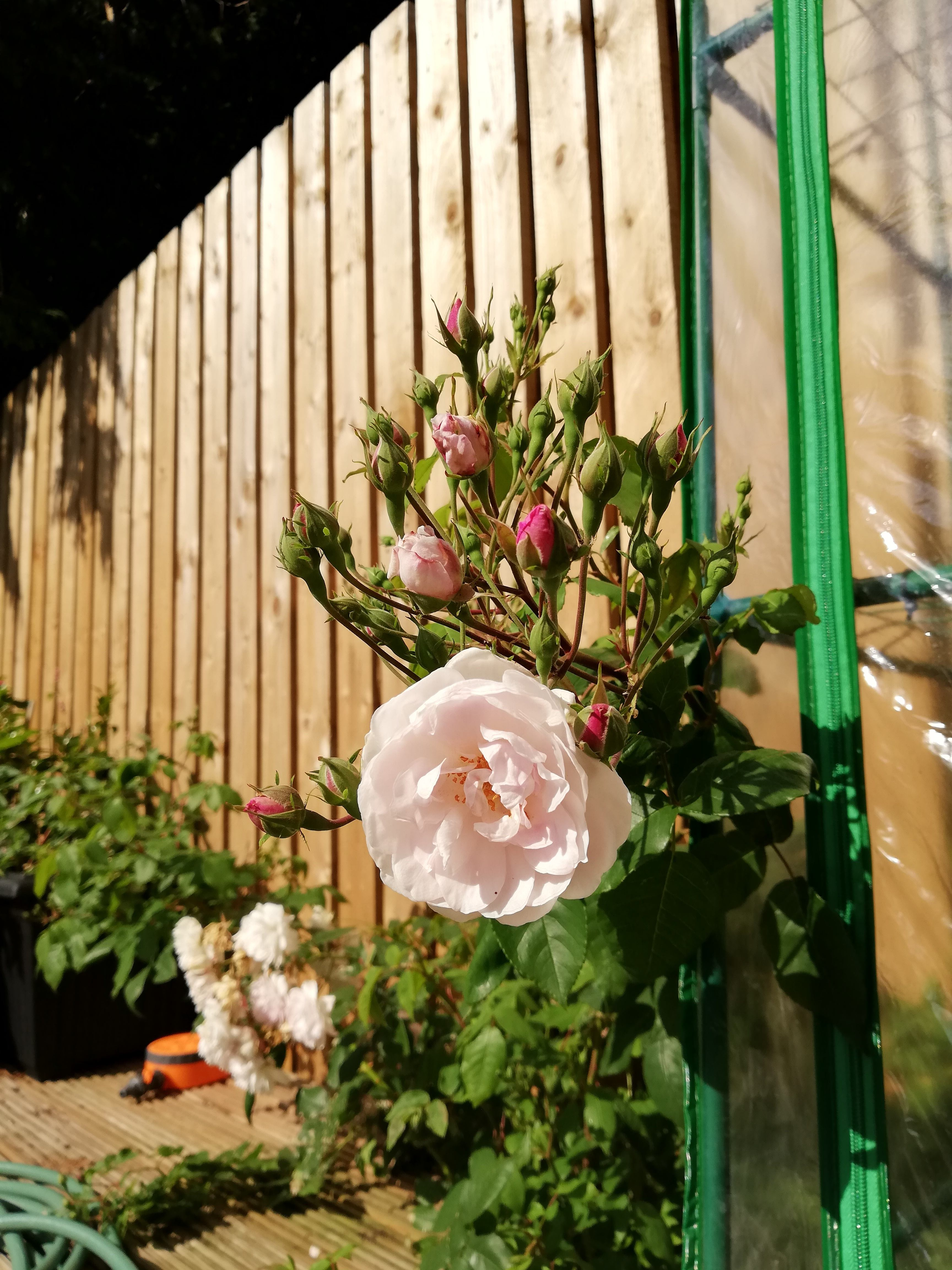 A pastel pink creeping rose with a wooden fence behind