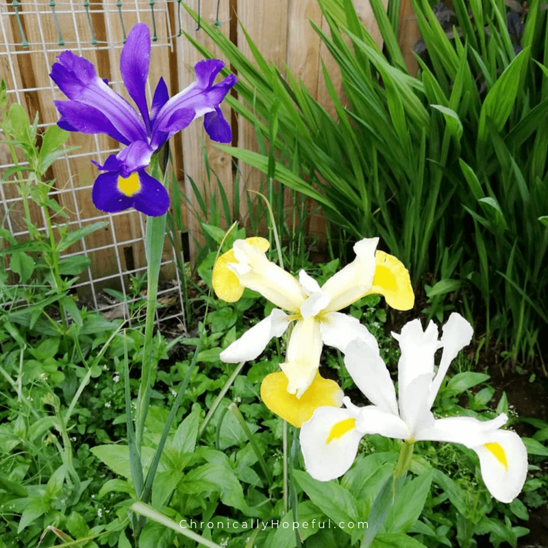 Purple and yellow Irises in the garden