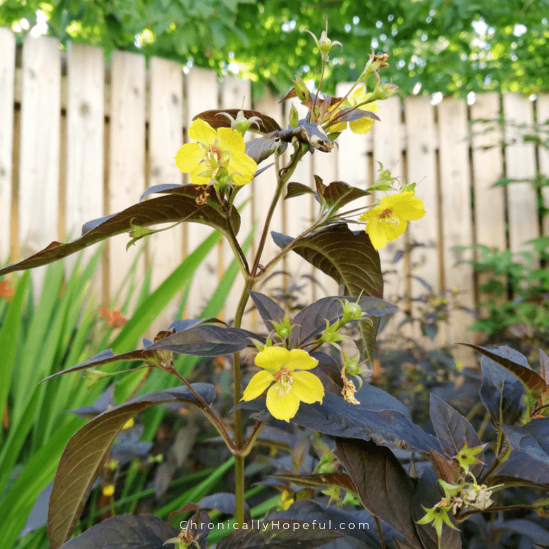 Plant with purple leaves and yellow flowers growing in front of a wooden fence.