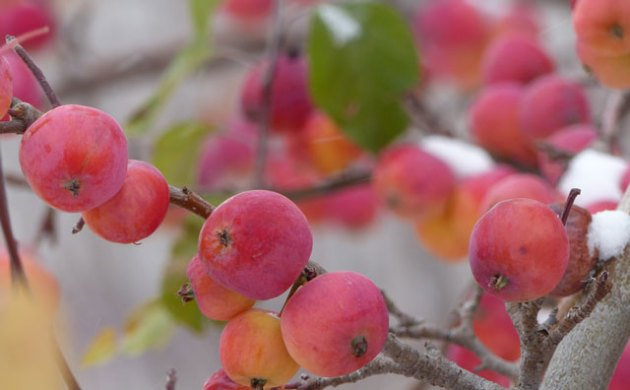 First snow and brillilantly red apples convey a sense of the Peace we cherish during the Holidays