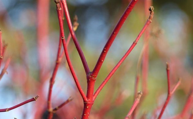 red dogwood branches in winter make inexpensive Christmas Tree branches