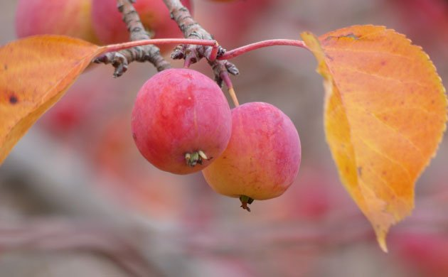 two red apples sit between yellow leaves