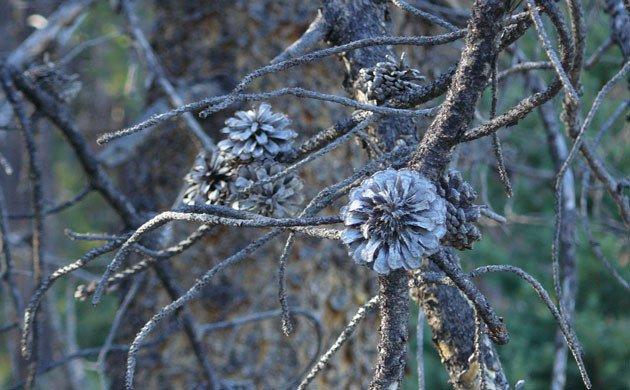 pine-cones-representing-symptoms-of-dryness