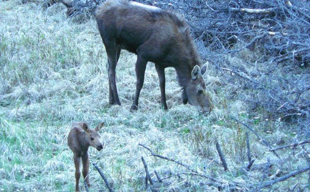 baby-moose-near the side of the road in Rocky Mountain National Park - one of the highlights of our David and I-rainy-year wedding anniversary celebrations