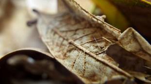 Dead Live Oak Leaf