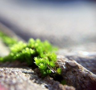 Moss on the patio, close-up