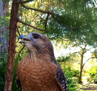 Red-shouldered Hawk, trainer's arm cropped out