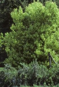 Ravinstara - Cinnamomum camphora Madagascar