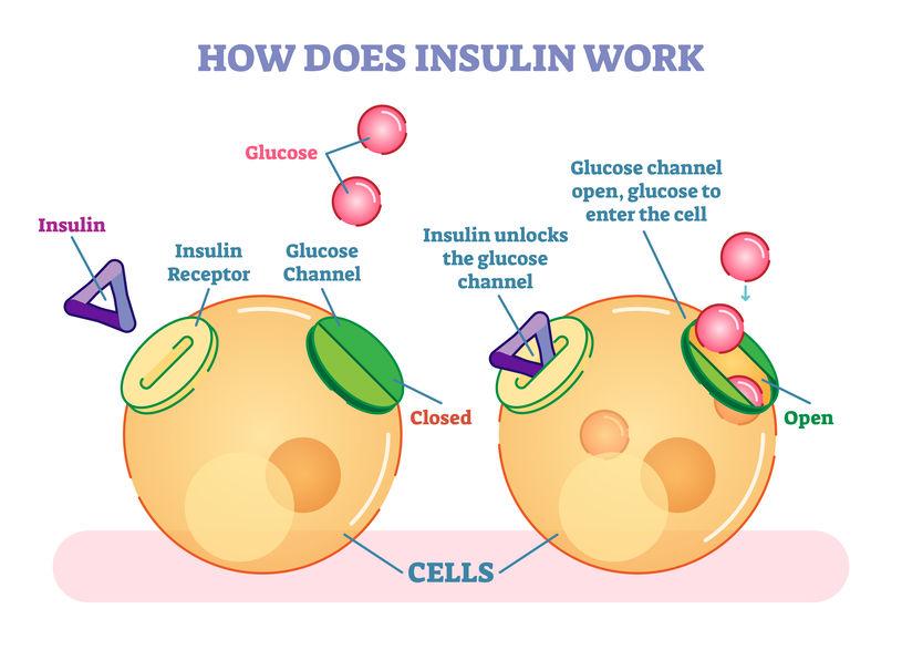 insuline et entrée du glucose dans les tissus : comment ça marche