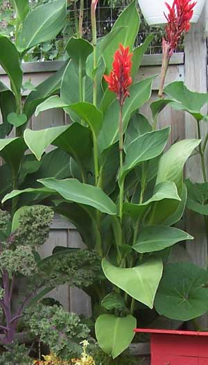 canna lillies chronos stores marketplace tobiloba seller